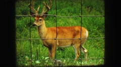 1967: a male deer look straight ahead. SOUTH DAKOTA Stock Footage