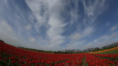 Tulip fields in Holland,  dolly shot with fish-eye, over red and yellow tulips, Stock Footage