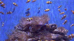 Clownfish (Amphiprion ocellaris) in Barcelona Stock Footage