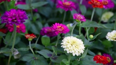 Colourful Gerbera flowers in the garden Stock Footage