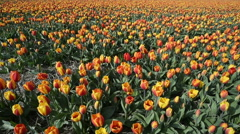 Tulip fields in Holland,  dolly shot over red and yellow  tulips. Stock Footage