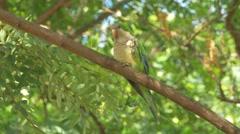 Monk parakeet (Myiopsitta monachus) Stock Footage