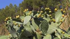Opuntia cactus in Spain Stock Footage