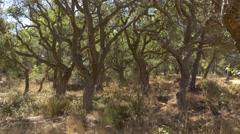 Cork oak forest in Spain Stock Footage