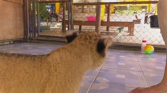Slow motion of a cute baby lion cub. Stock Footage