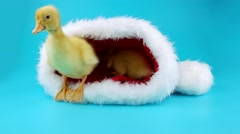 Two newborn yellow ducklings sitting in the Santa Claus hat Stock Footage