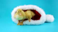 Funny Christmas two little yellow ducklings sitting in the Santa Claus hat Stock Footage