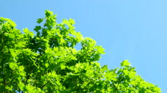 Natural summer background with maple tree branches. Maple branches swaying in Stock Footage