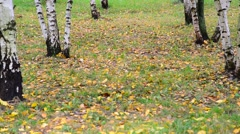 Autumn leaf fall in a birch grove, Russia Stock Footage