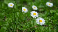 Natural summer background with white daisies in green grass Stock Footage