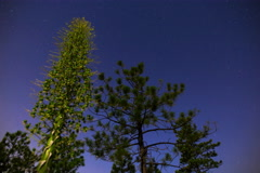 5K MoCo Tracking Astro Timelapse of Yucca Buds & Pine Tree in Forest  Stock Footage
