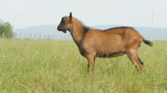 Beautiful brown kid goat standing in the grass on the field and look around, out Stock Footage