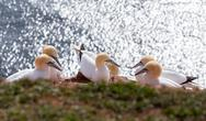 Northern gannet sitting on the nest Stock Photos