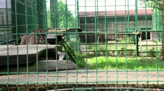 Female lion animal lying on boards in zoo cage Stock Footage