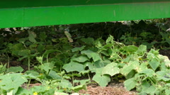 Picking cucumbers on field Arkistovideo