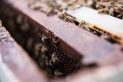 Bees on honeycomb frame Stock Photos