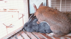 Rabbits have intercourse Stock Footage