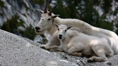 Wild Mountain Goat in Cascade mountains Stock Footage