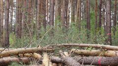 Felling of pine forest. Stock Footage