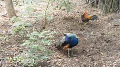 Peacock and wild jungle fowl grooming in the nature. Stock Footage