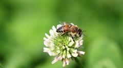 Honeybee crawling on a flower Stock Footage