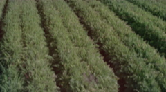 Pan over ripe farmlands to reveal mountains in the distance. Diagonal shot. Stock Footage