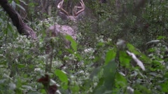 Whitetail deer buck walks away in late summer forest Stock Footage