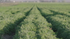 Pulling focus along an endless row of ready-to-harvest carrots. Stock Footage