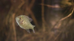 Fish crappie hiding in tree roots chased away Stock Footage