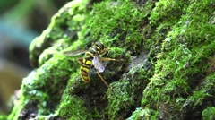 Bee mimic fly on tree with green moss Stock Footage