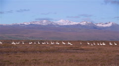 Large flock of swans foraging on ground snow capped mountains blue sky Iceland Stock Footage