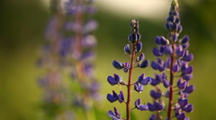 Lupin flowers. Purple flowers on green natural background. Summer sunset in Stock Footage