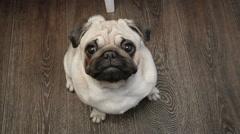 Pets. Dog. Beautiful pug dog looking at the camera Stock Footage