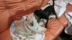 Pets. Dogs. Two dogs playing on the couch Stock Footage