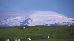 Thick fur sheep grazing green pasture under snow covered glacier Iceland wide Stock Footage