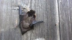 Northen bat Eptesicus nilssonii crawling on wooden wall Stock Footage