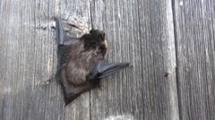 Northen bat Eptesicus nilssonii crawling on wooden wall Arkistovideo