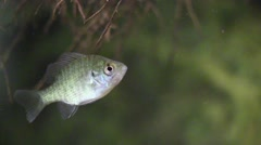 Fish crappie hiding in tree roots swims away Stock Footage