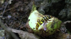 Bee mimic fly on hickory nut husk Stock Footage