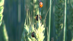 Lady bugs on wheat ear Stock Footage