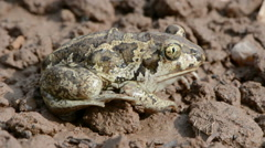 Common spadefoot breathing Stock Footage