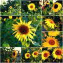 Sunflowers blooming in park collage of summertime photos Stock Photos