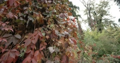 Autumn tree with red leaves Stock Footage