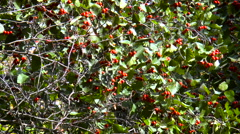Red berries on the branches of trees swaying in the wind Stock Footage