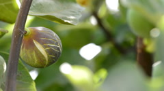 Fig fruit in a branch of a fig tree Stock Footage