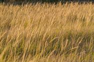 Background with spikes of dry grass in field Stock Photos