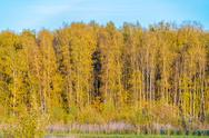 Yellow birches in the autumn forest Stock Photos