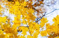 Autumn background with bright yellow maple leaves Stock Photos