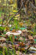 ?louded agaric (Clitocybe nebularis) edible mushroom  among fallen leaves in  Stock Photos