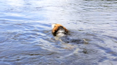 Hunting dog crosses the river Stock Footage